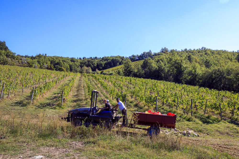 Shoot Topping in the vineyard