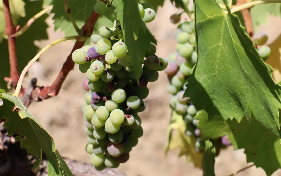 Our vines are already in the Veraison phase