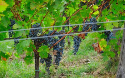 Lignification (Agostamento) of the shoots: the grapes ripen